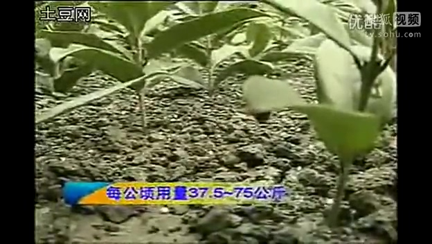 嫁接桂花树种植技术(桂花树扦插育苗)