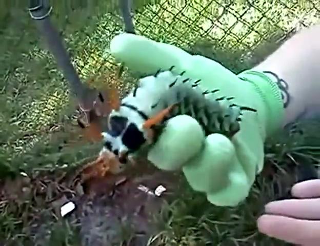 变异动物?巨型长角毛虫